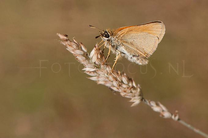 Thymelicus lineola- Zwartsprietdikkopje