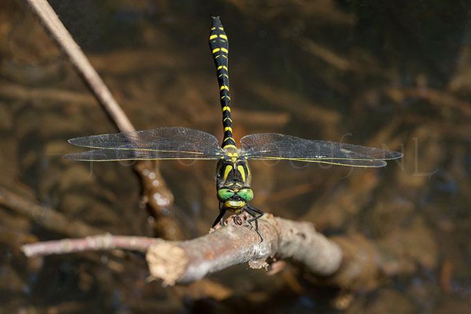 Cordulegaster boltonii - gew. bronlibel -male3