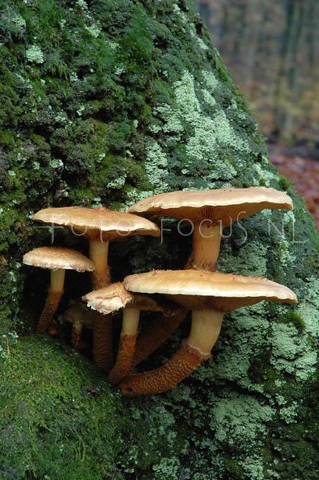 Armillaria mellea - Echte honingzw