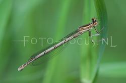 Platycnemis pennipes - Blauwe breedscheen juff.1- female