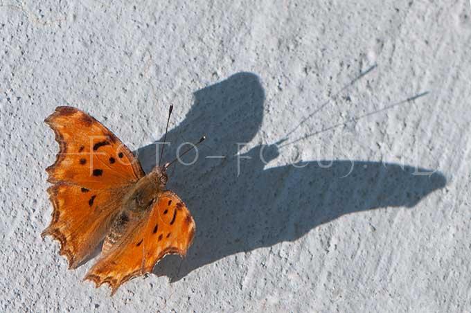 Polygonia egea - Zuidelijke aurelia