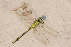 Gomphus pulchellus - Plasrombout4- male
