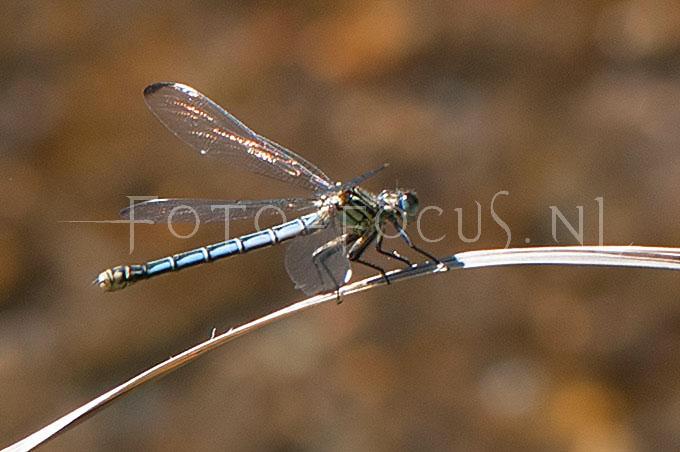 Epallage fatima - Orientjuff.1 -female