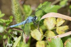 Orthetrum brunneum - Zuidelijke Oeverlibel - male