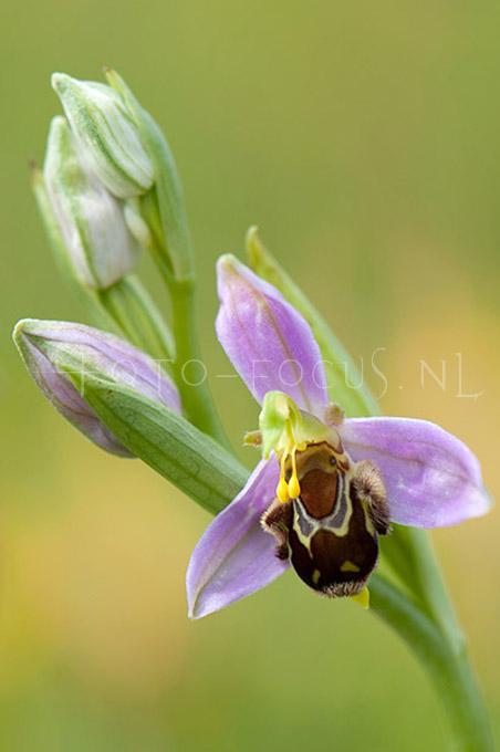 Ophrys apifera - Bijenorchis3