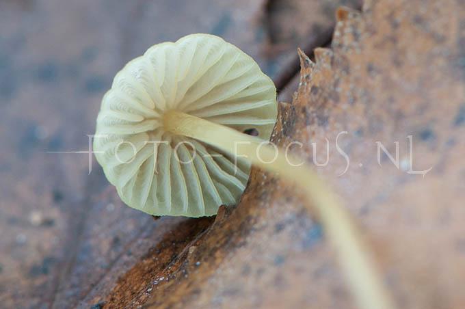 Mycena citrinomarginata - Citroenmycena1