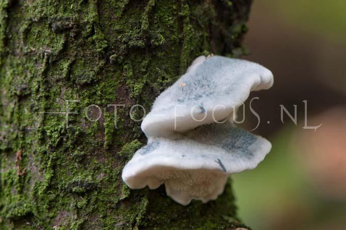 Postia subcaesia - Vaalblauwe kaaszw