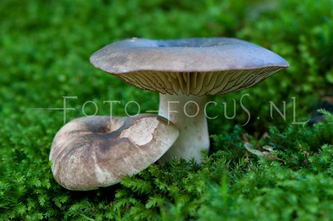 Russula nigricans - Grofplaatrussula
