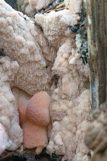 Rhodonia placenta - Roze kaaszw1