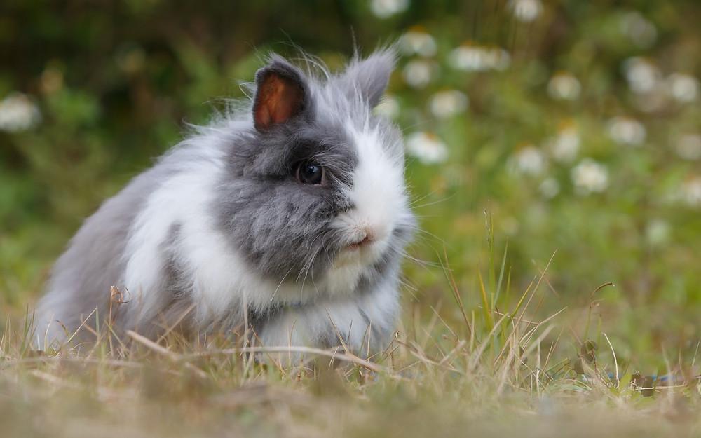 Angora-Kaninchen