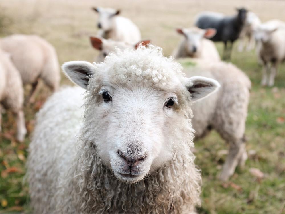 Schaf Wolle