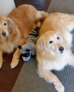 two-goldens.jpg