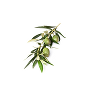 Olive tree .png