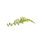 Thyme .png