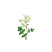 Meadowsweet .png