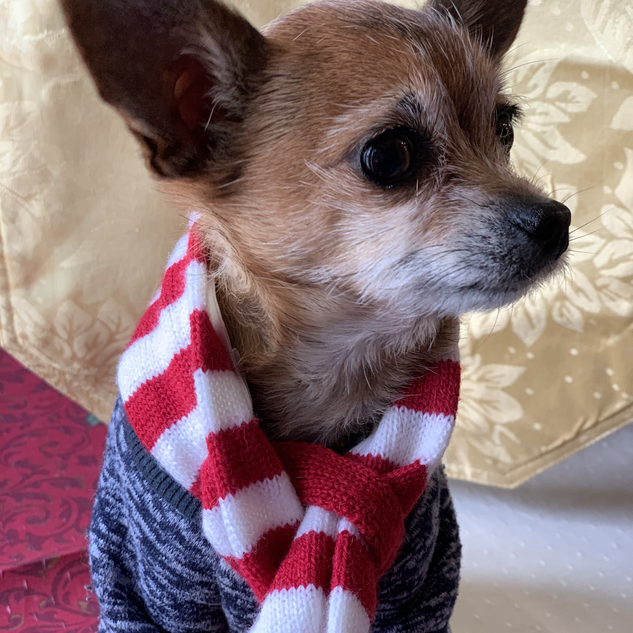 I'm a dog owner to this 7 year old 3 pound chihuahua mix, Nezumi (Japanese for Rat).