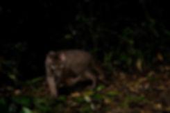 IMG_114983_African_Golden_Cat_Uganda_Seb