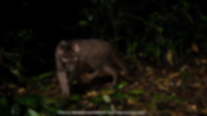 African_Golden_Cat_Uganda_(C2).png