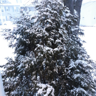 snow on tree in Maine