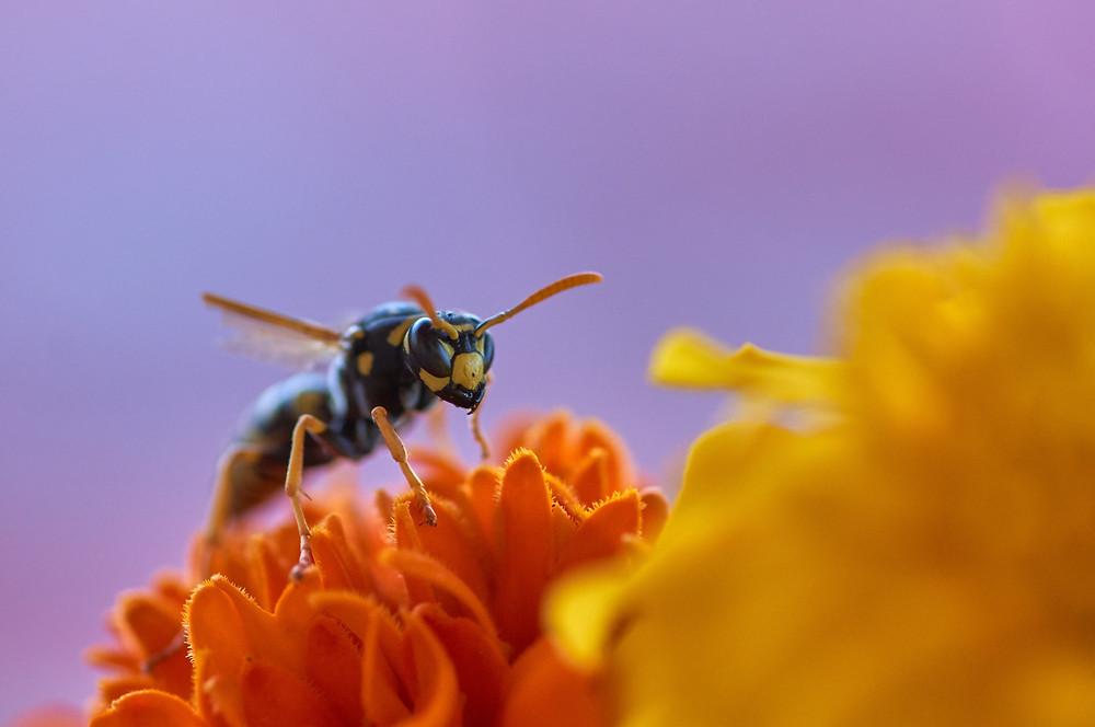 Focus sur une abeille