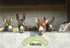 Burrolandia-Mexico_Portada.jpg