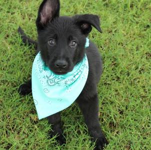 M litter pup, son of Goja Policia Slovakia