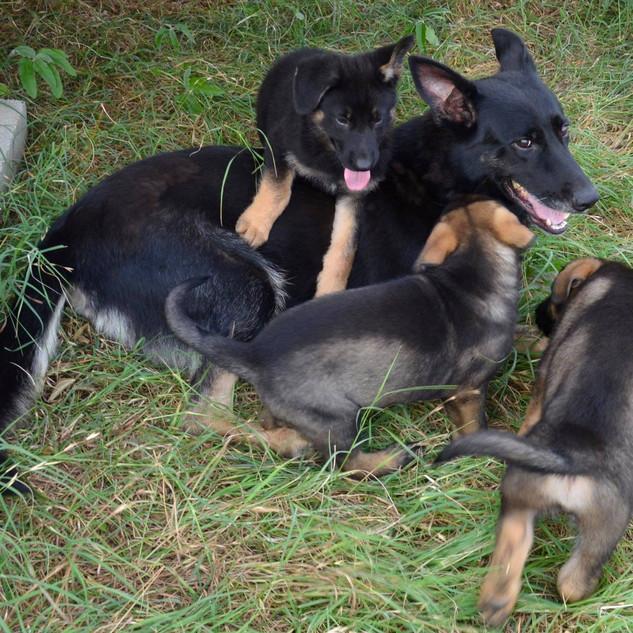 Q Litter Pups