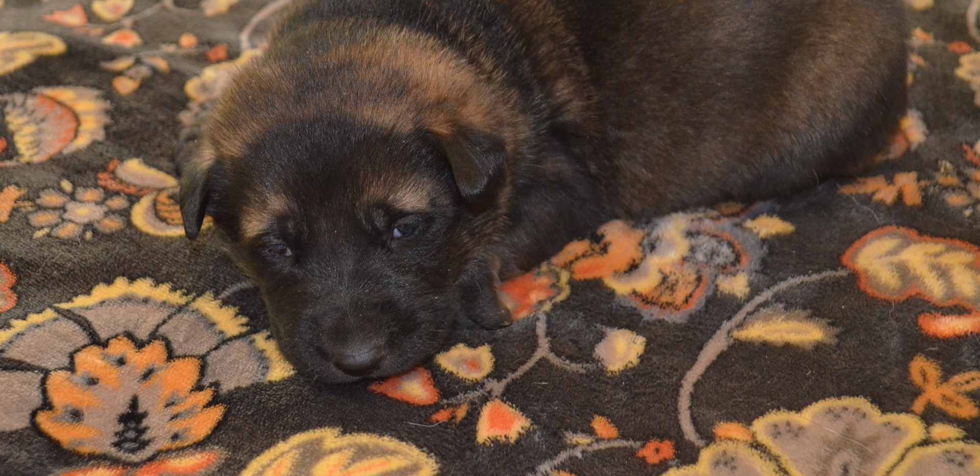 Available sable female