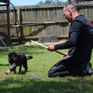Tuffy 8 weeks old at a working dogs seminar