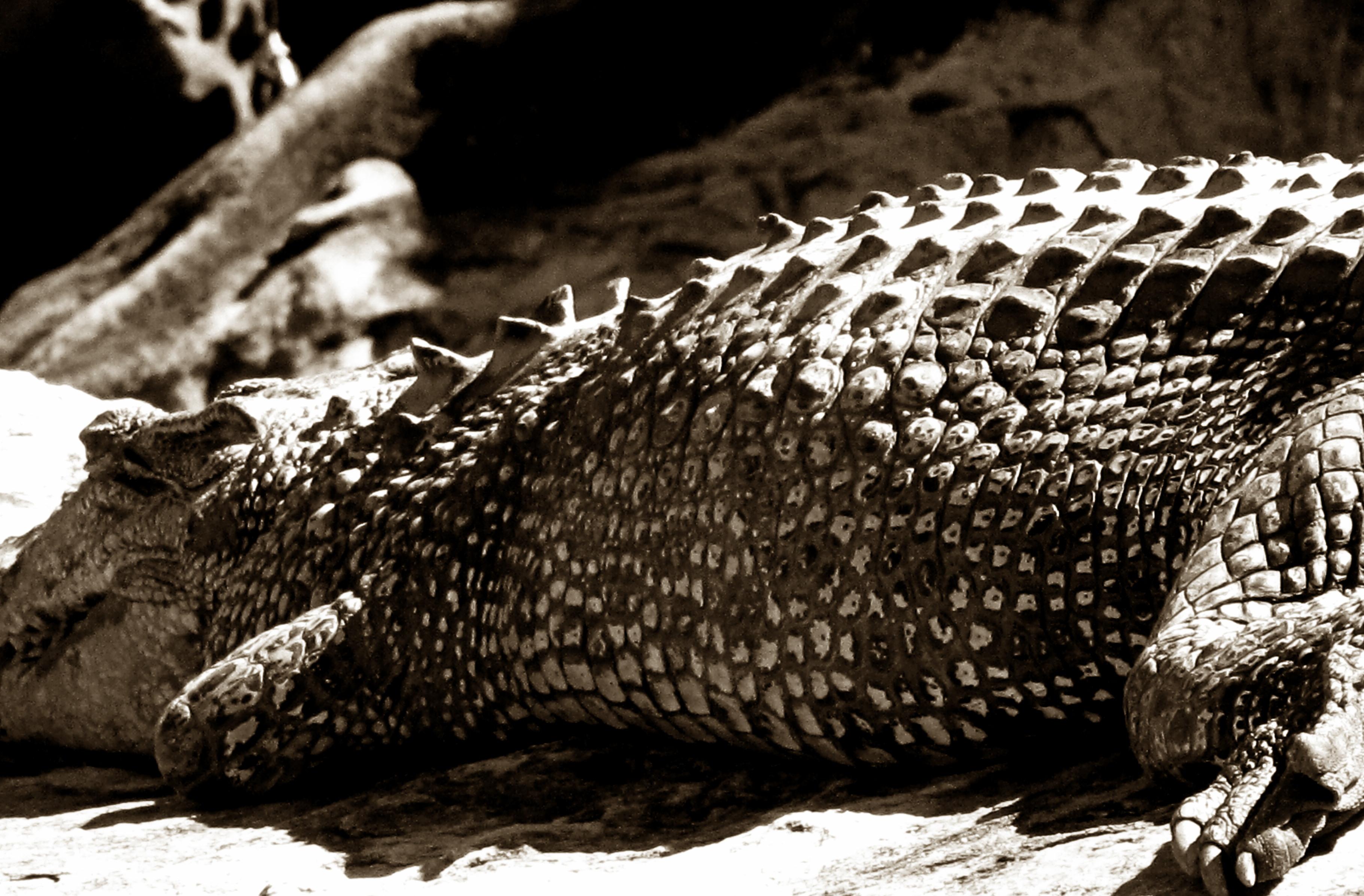 Crocodile Study 3