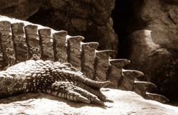 Crocodile Study 5