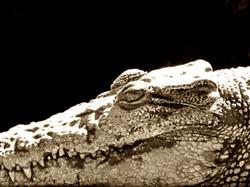 Crocodile Study 4