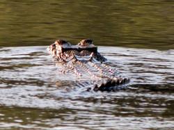 Crocodile Study 1