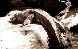 Crocodile Study 6