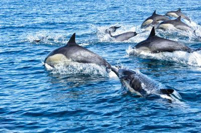 dolphin seal sailing.jpg