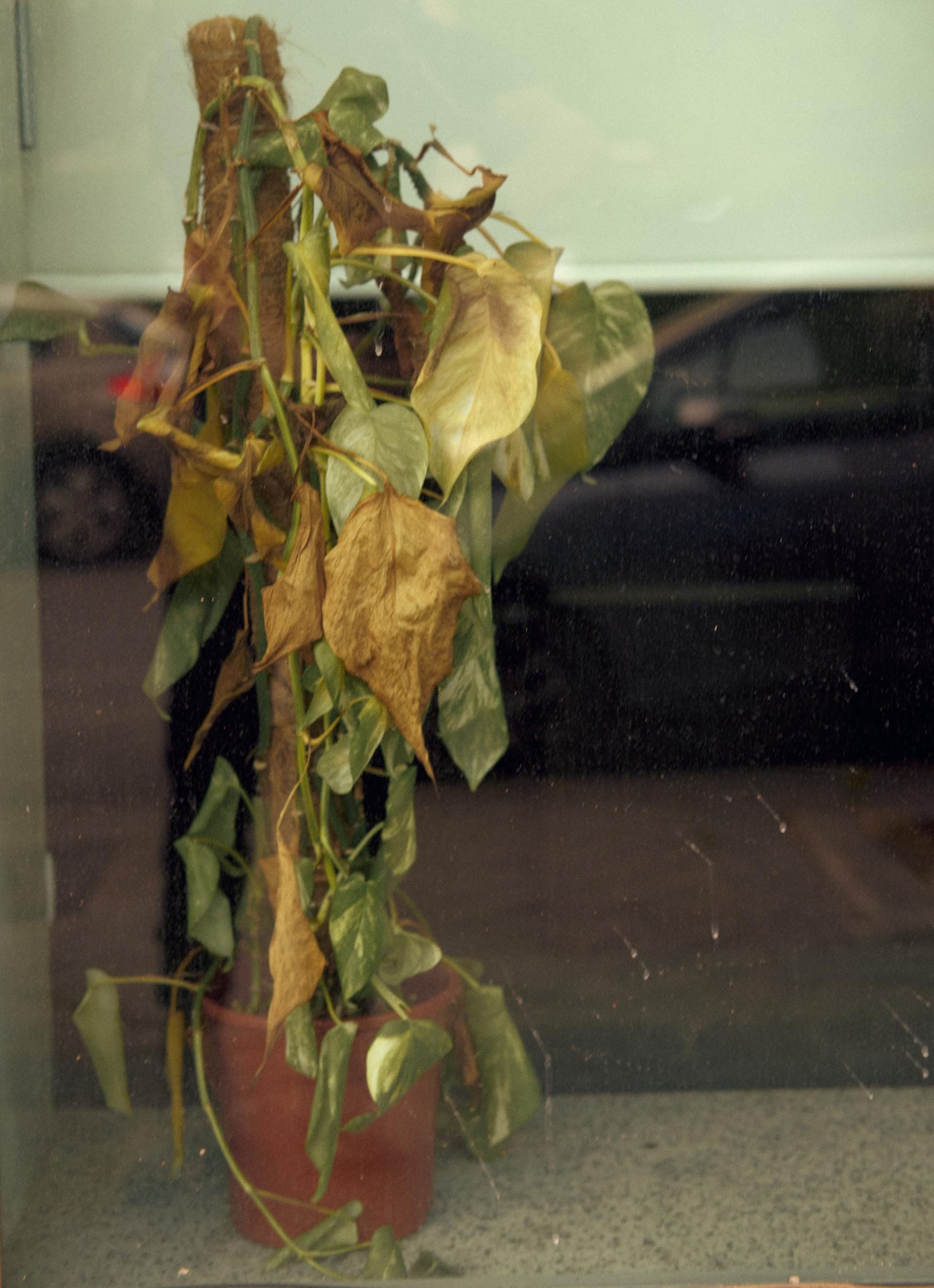 Planta seca en un comercio local , tras casi dos meses de confinamiento sin que nadie pueda regarla.