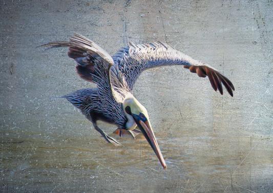 Pelican 2.jpg