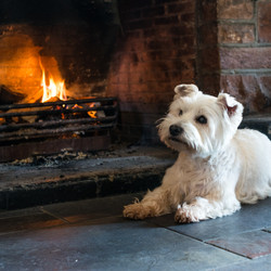 Westie by open fire