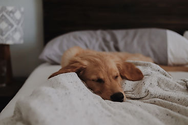 Golden dog sitting on blanket