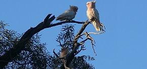 charleville cockatoos