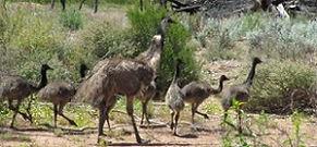 charleville emus