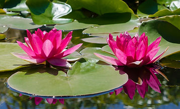Pink lilies on lily pads in pond