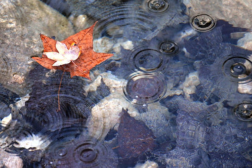 Fall maple leaves floating in a rock filled pond