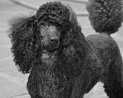 miniature poodle breeder ny
