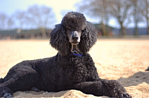 standard poodle puppies ny