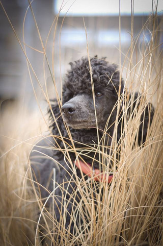 miniature poodle breeder ny