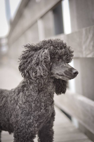 standard poodle puppies ny.jpg