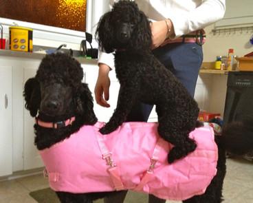 standard poodle breeder ny