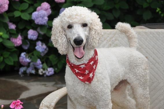 standard poodle breeder ma