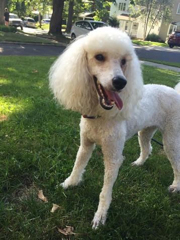 miniature poodle breeder new hampshire